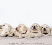 Goldador Puppies